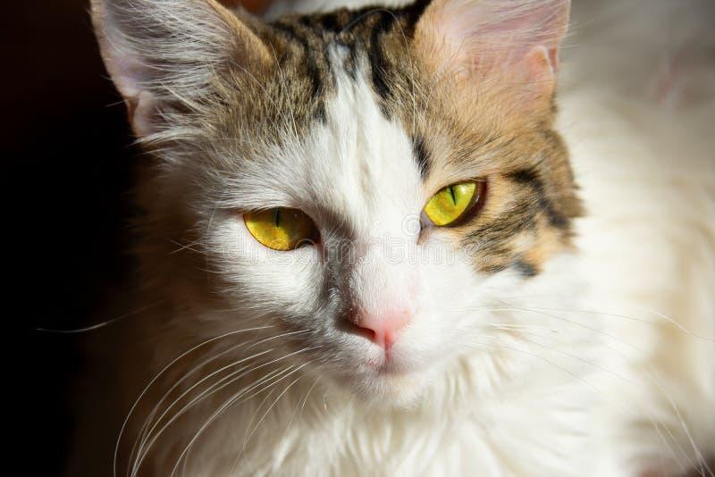 Gato joven del gatito del gato atigrado gris blanco con los ojos verdes amarillos hermosos imágenes de archivo libres de regalías
