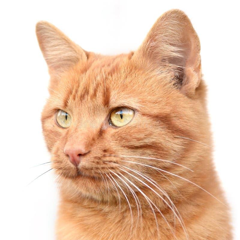 Gato joven elegante del jengibre en un fondo blanco fotos de archivo