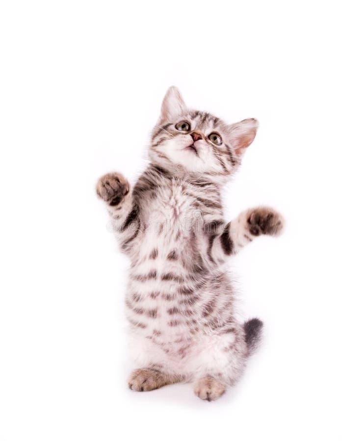 Gato joven escocés hermoso fotos de archivo
