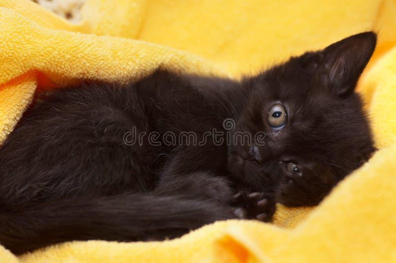 Gato joven escocés hermoso foto de archivo