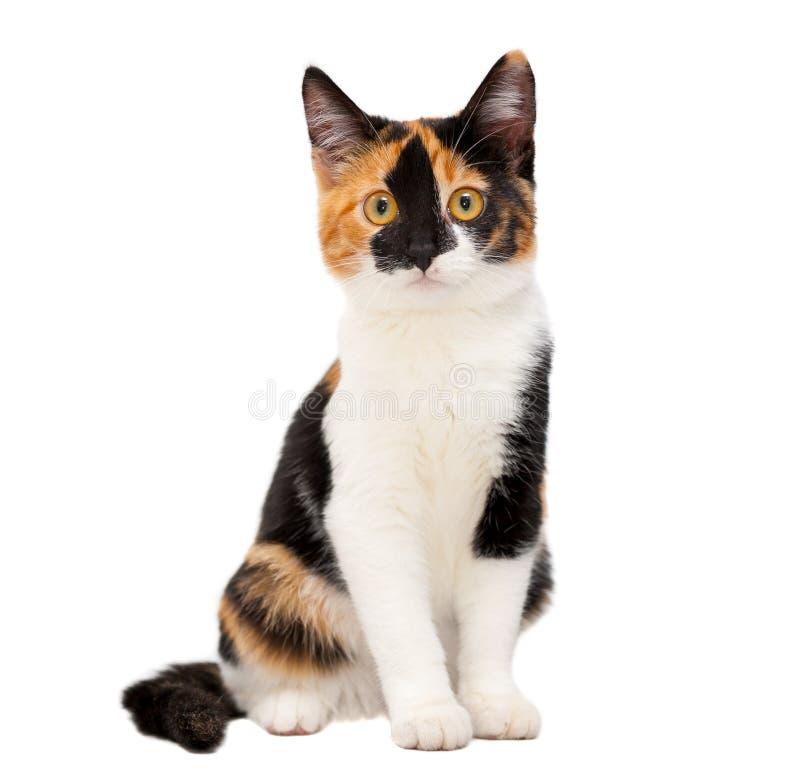 Gato joven tricolor de la tortuga foto de archivo