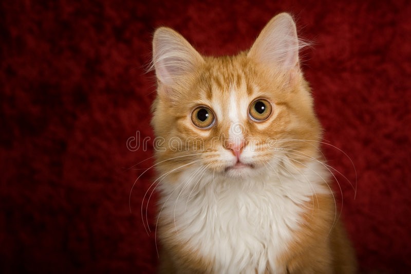 Gato lindo con el fondo rojo fotografía de archivo