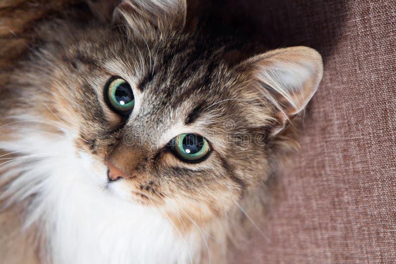 Gato lindo con los ojos verdes que miran para arriba imágenes de archivo libres de regalías