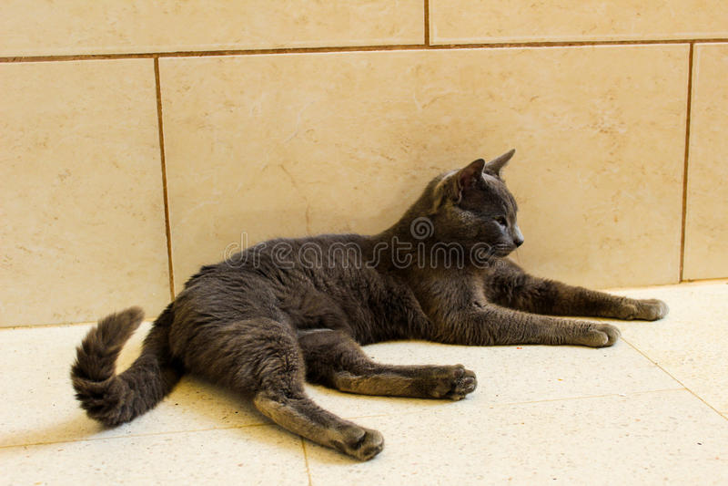 Gato lindo de Korat fotos de archivo
