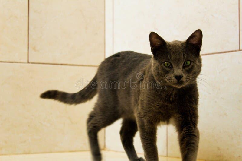 Gato lindo de Korat foto de archivo