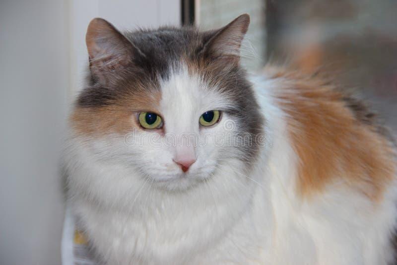 Gato lindo de la foto del primer, animal doméstico mullido en el alféizar imagenes de archivo