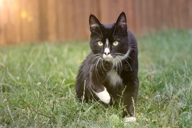 Gato lindo de tom del smoking en un prado fotos de archivo