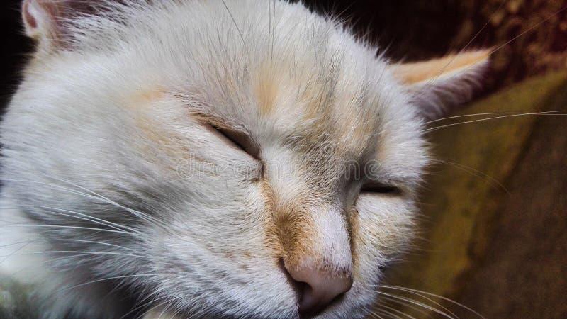 Gato lindo del animal doméstico de la fotografía del gato nacional imagen de archivo