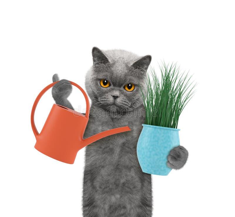 Gato lindo del jardinero con la flor y la regadera aisladas en blanco imágenes de archivo libres de regalías