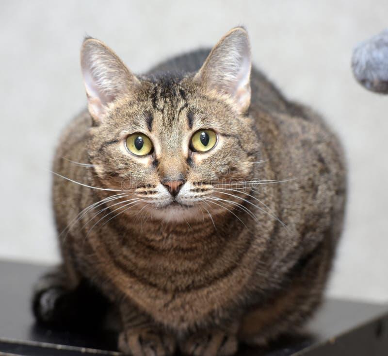Gato lindo del shorthair del gato atigrado imagenes de archivo