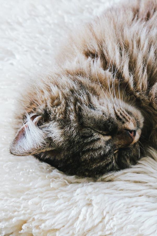 Gato lindo el dormir El gatito gris toma una siesta El gato está mintiendo en la manta mullida blanca Cuteness, concepto de la in fotos de archivo