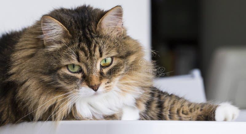 Gato lindo en la casa que mira hacia fuera, gato de gato atigrado marrón fotografía de archivo libre de regalías