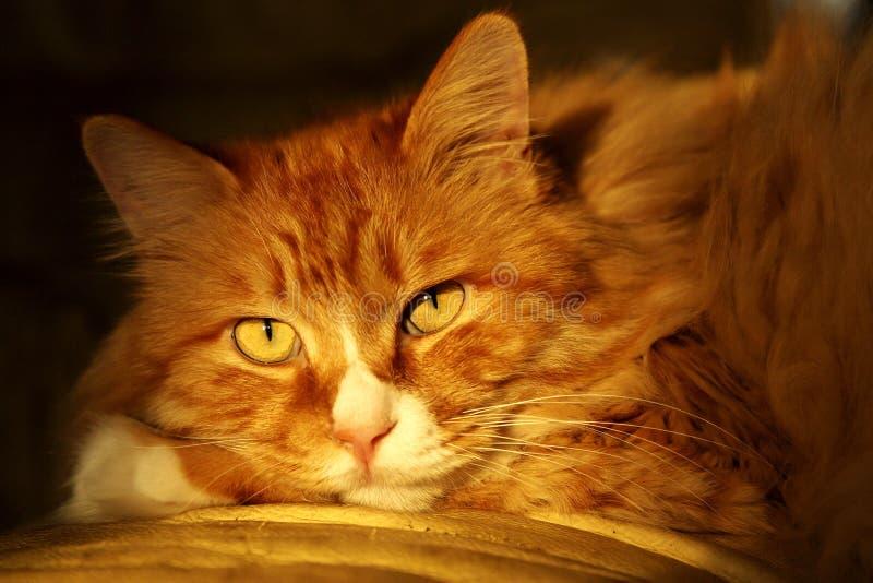 Gato lindo en oscuridad fotografía de archivo