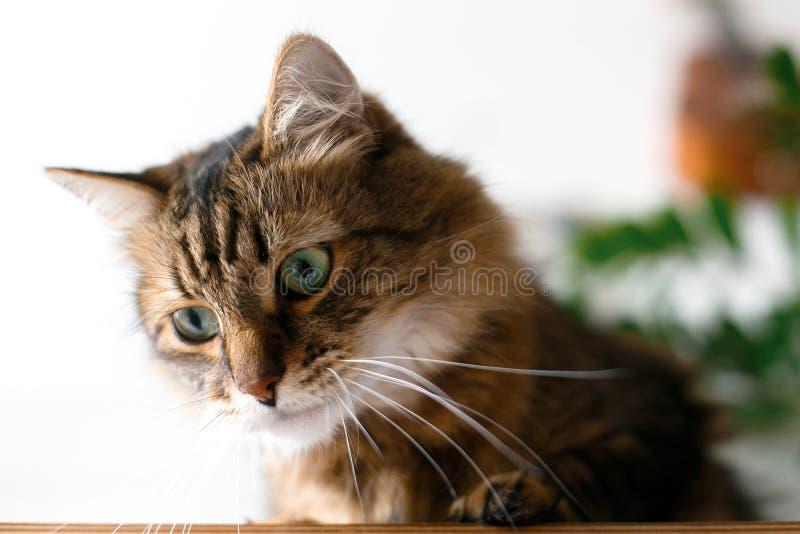 Gato lindo que se sienta bajo ramas de la planta verde y que se relaja en estante de madera en el backgroud blanco de la pared en foto de archivo