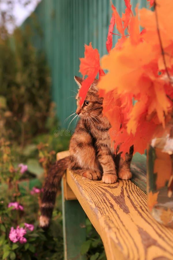 Gato listrado bonito no jardim do outono que senta-se em um banco am fotografia de stock