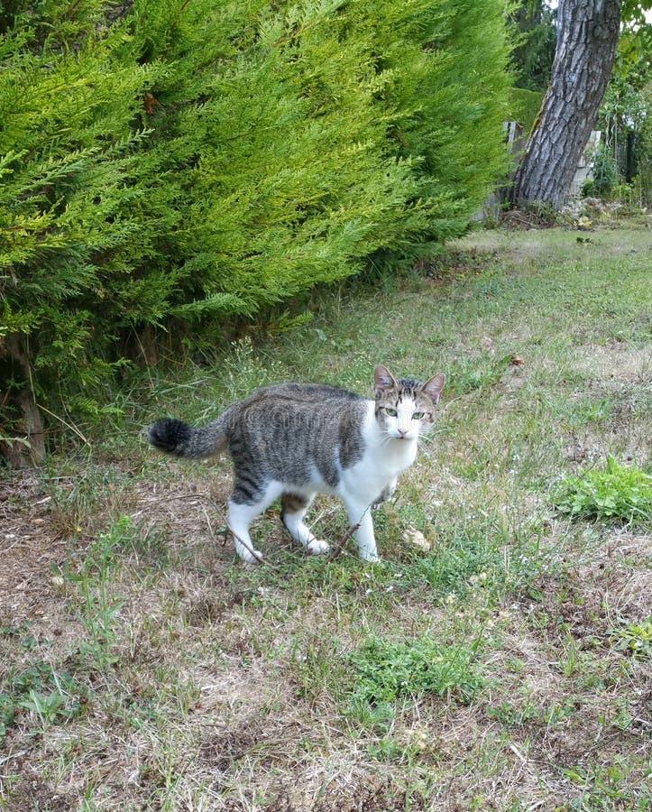 Gato listrado cinzento com parte dianteira branca do babador imagens de stock