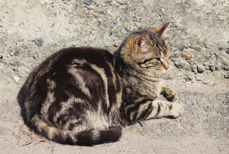 Gato listrado cinzento desabrigado foto de stock