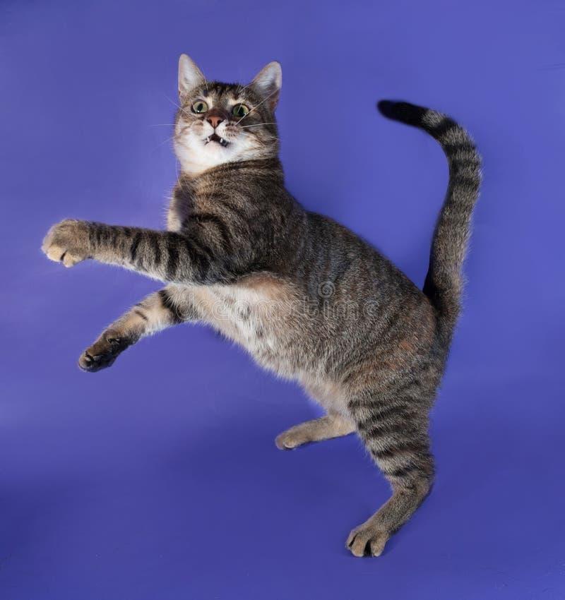 Gato listrado grosso que joga no lilás imagens de stock royalty free