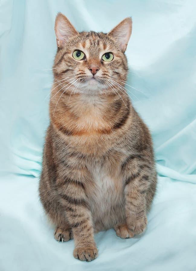 Gato listrado tricolor grosso que senta-se no verde fotos de stock royalty free