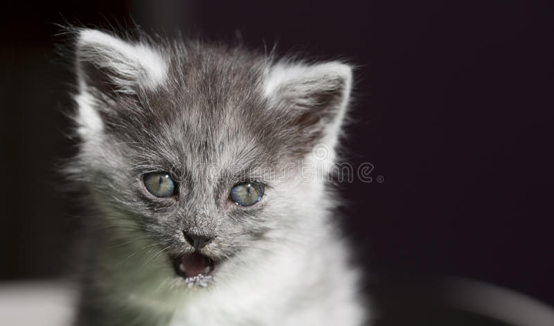 Gato longhair bonito com olhos azuis imagem de stock