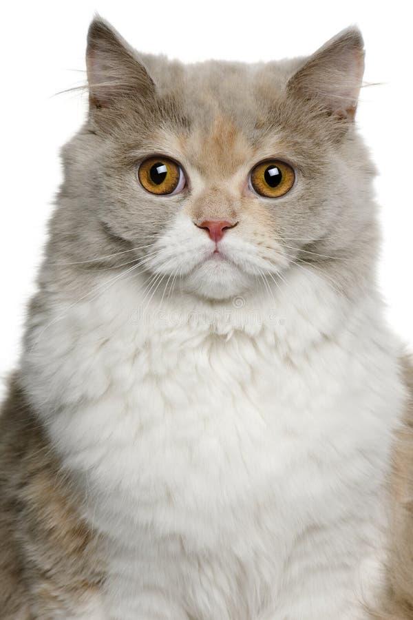 Gato longhair britânico, 8 meses velho fotografia de stock