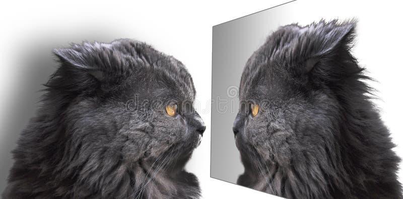 Gato, Longhair britânico, azul fotografia de stock