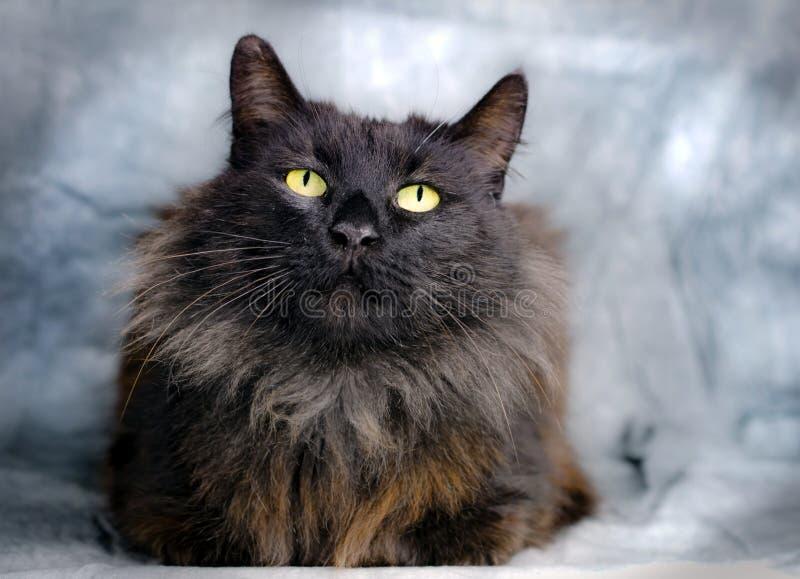 Gato longo doméstico preto do cabelo imagem de stock
