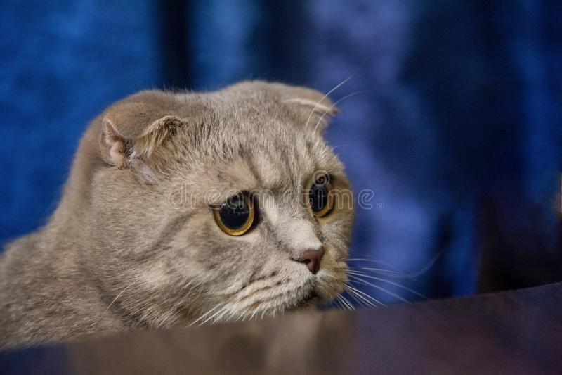Gato lop-eared cinzento fotografia de stock