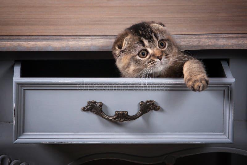 Gato Los escoceses doblan el gatito en la tabla de madera y el backgroun texturizado imagenes de archivo