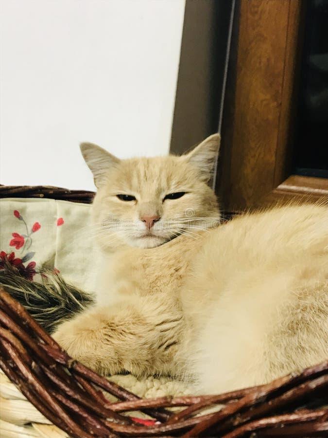 Gato macio branco imagens de stock royalty free