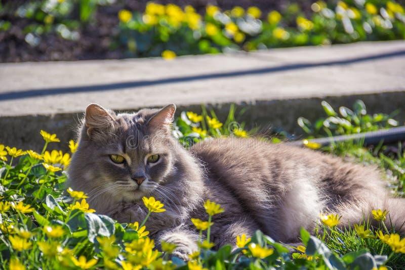 Gato macio cinzento na cama de flor ¡ De Ð em e mola imagem de stock royalty free