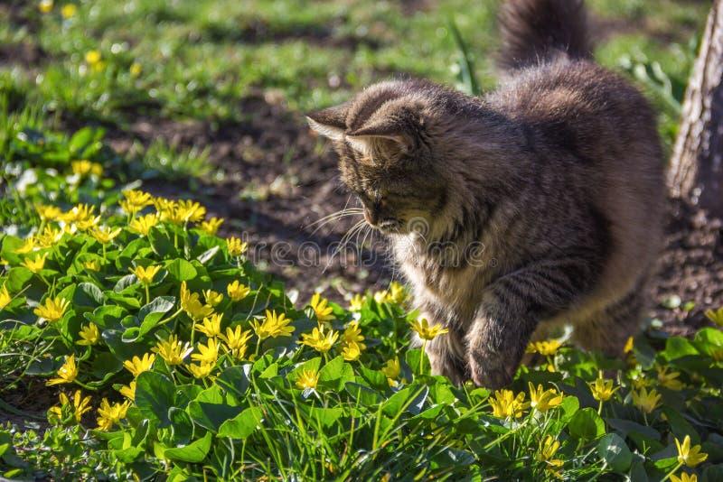 Gato macio cinzento nas flores Jardim da mola do gato imagens de stock royalty free