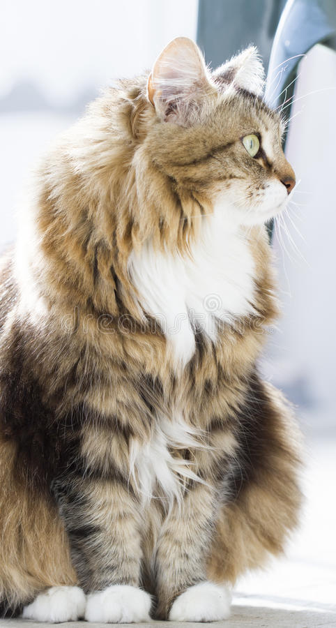 Download Gato Macio Da Raça Siberian Na Casa Foto de Stock - Imagem de marrom, hypoallergenic: 80102364