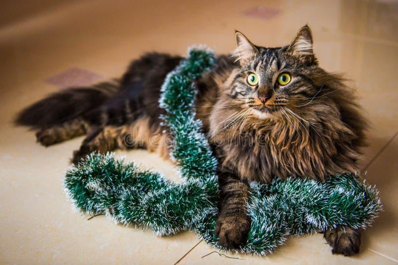 Gato macio norueguês com as festões no ano novo imagens de stock royalty free