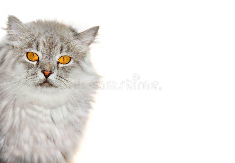 Gato macio Siberian foto de stock
