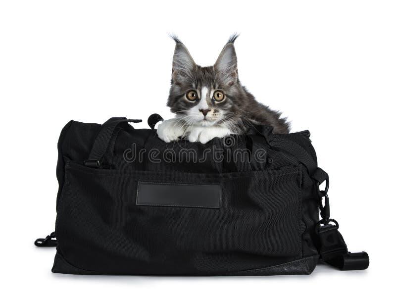 Gato malhado azul bonito super com o gatinho branco do gato de Maine Coon que senta-se no saco preto do esporte decorado com test foto de stock