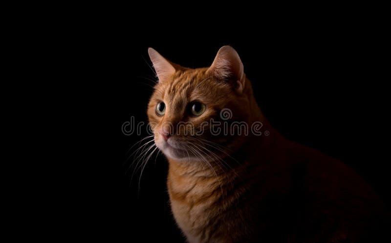 Gato malhado bonito do gengibre, iluminado de um lado fotografia de stock royalty free