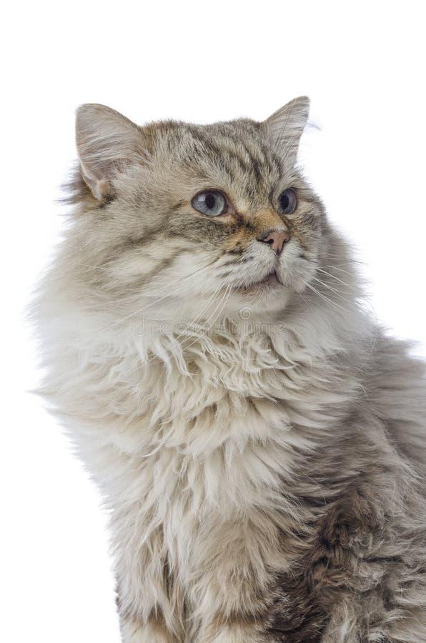 Gato malhado da raça de Cat Siberian no fundo branco imagens de stock