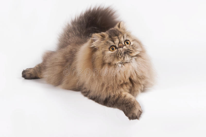 Gato malhado de Brown do persa foto de stock