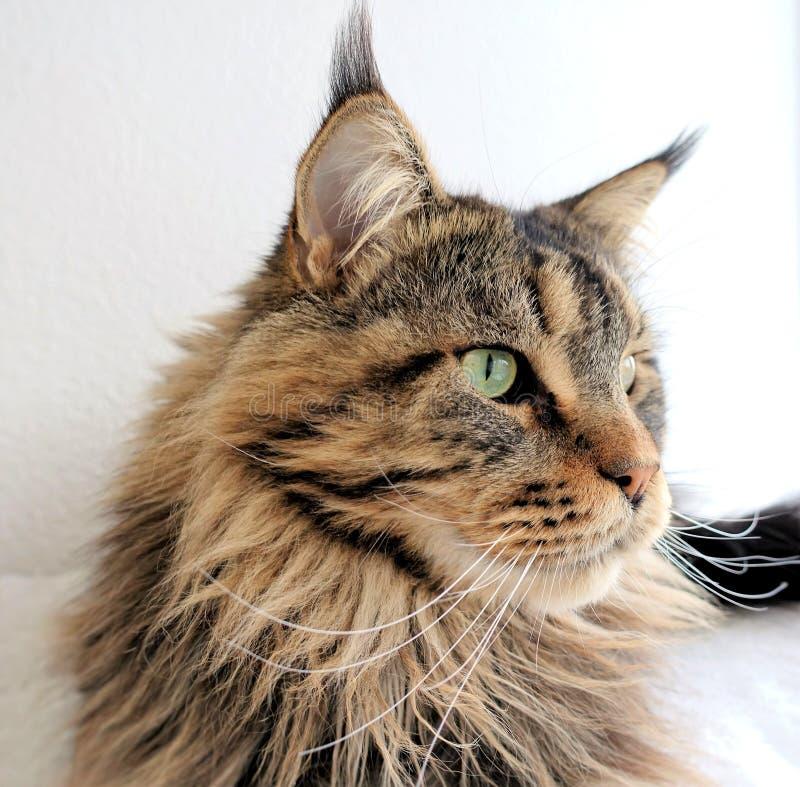 Gato malhado do marrom do gato de Maine Coon imagens de stock royalty free