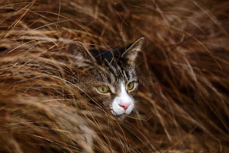 Gato malhado e branco Cat Hiding na grama longa foto de stock royalty free