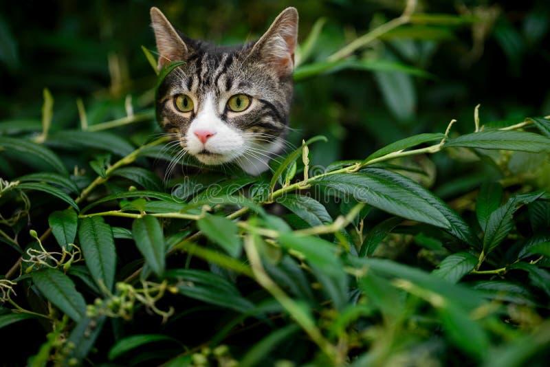 Gato malhado e branco Kitten Peering Out de Bush foto de stock royalty free
