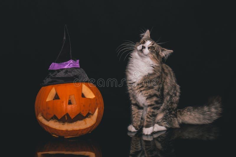 Gato malhado e gato branco que estão ao lado de uma abóbora cinzelada fotografia de stock royalty free