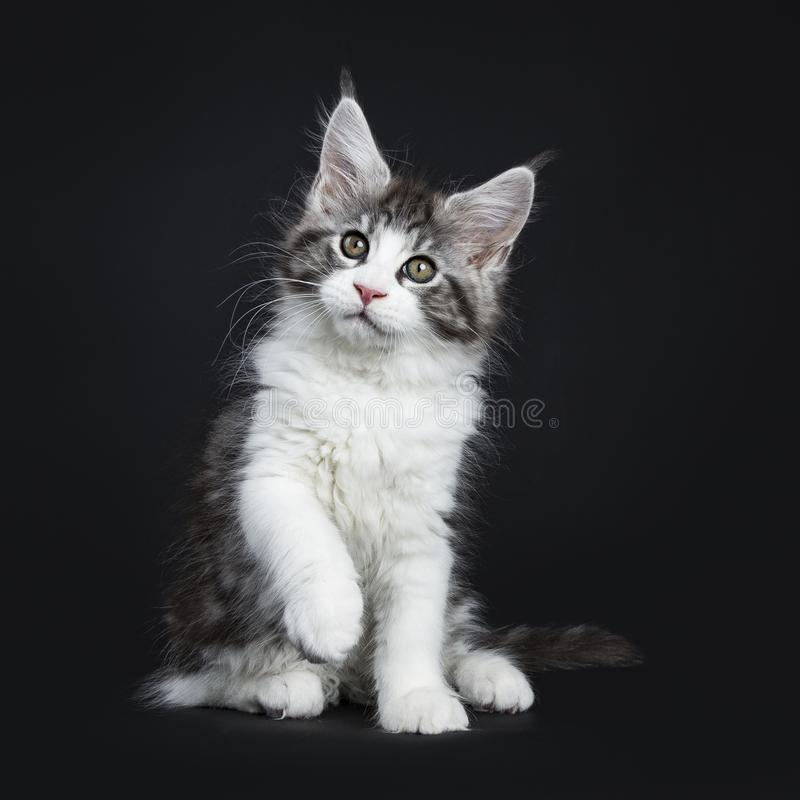 Gato malhado preto considerável com Maine Coon branca foto de stock