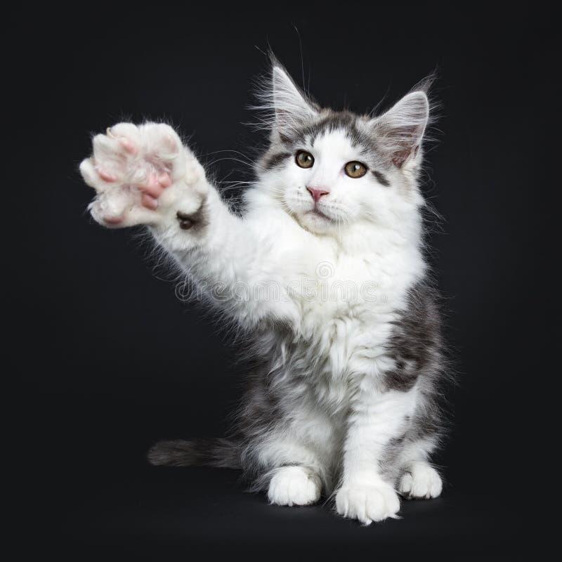 Gato malhado preto do kung-fu com o gato branco de Maine Coon foto de stock
