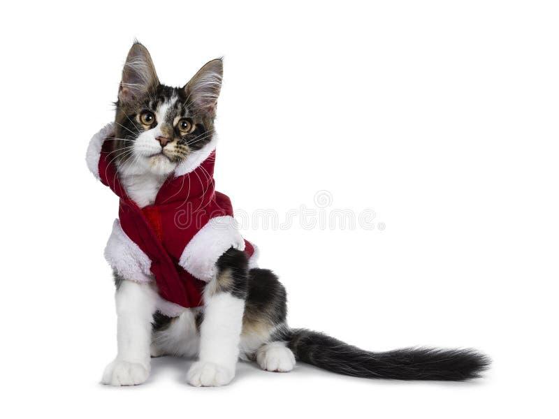 Gato malhado preto doce com os panos vestindo do Natal do gatinho branco do gato de Maine Coon, isolados no fundo branco fotos de stock royalty free