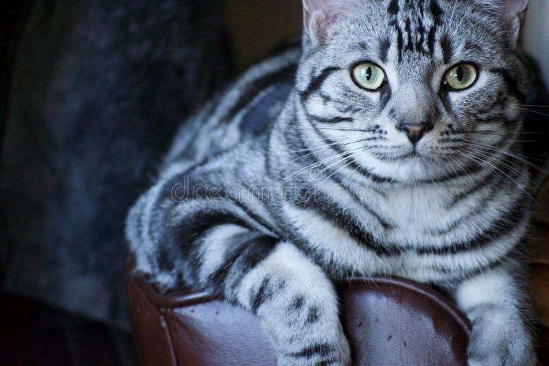 Gato malhado que lounging no menino preguiçoso imagens de stock royalty free