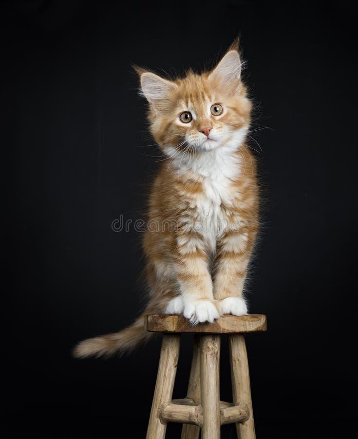 Gato malhado vermelho com o gato/gatinho brancos de Maine Coon foto de stock