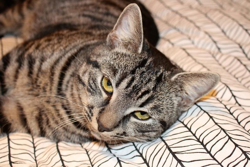 Gato manchado gris hermoso con los ojos amarillos imagen de archivo