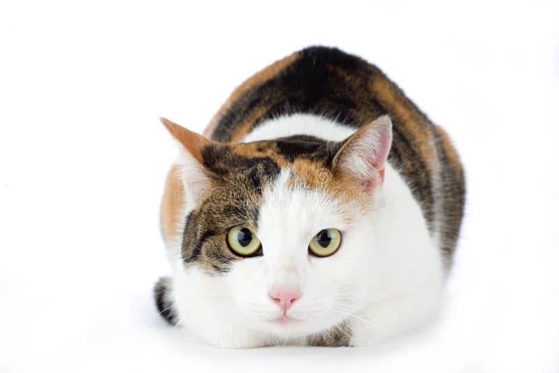 Gato manchado, isolado fotografia de stock